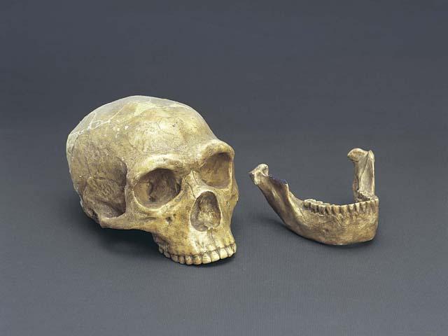 ネアンデルタール人頭骨(複製)